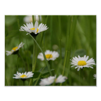 Spring Wild Daisies Poster