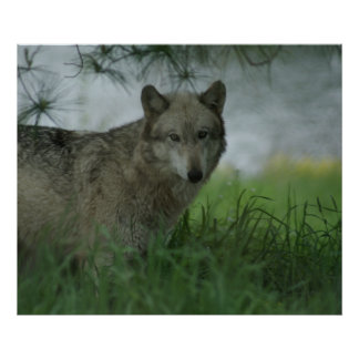 SPRING WOLF POSTER