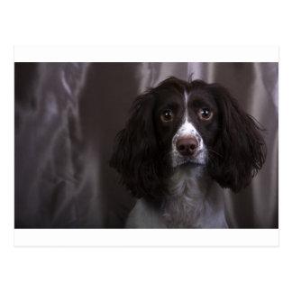 Springer Spaniel Dog Postcard