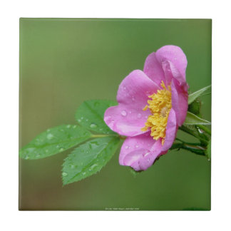 Springs Storm Beauty Wild Rose In Rain Tile