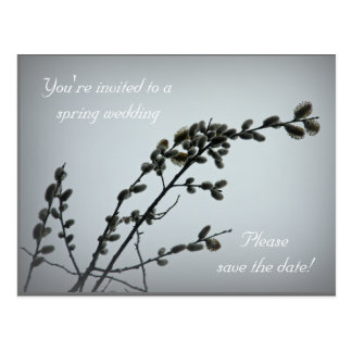 Springtime Pussy Willow Catkins Postcard