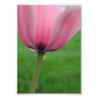 Springtime Tulip Photo Print