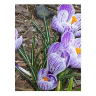 Springtime's Season Blooms Purple Crocuses Postcard