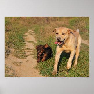 Sprint - Labrador and Dachshund Poster