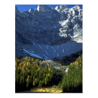 Spruce and tamarack forest below Tombstone Mountai Postcard
