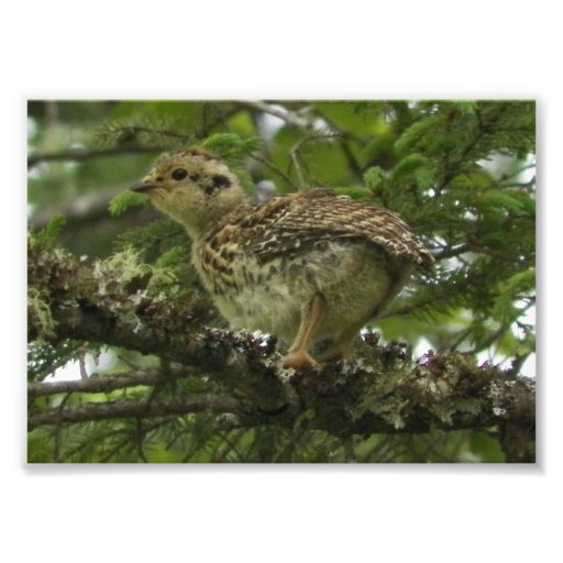 Spruce Grouse Chick 5x7 Photoprint Photographic Print