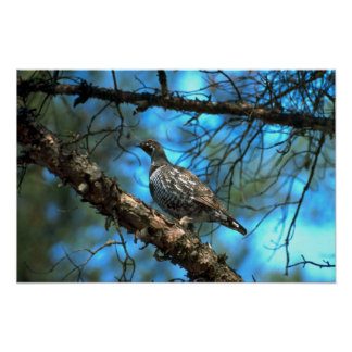 Spruce Grouse-male Poster