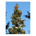 Spruce Tree Top With Cones Post Card