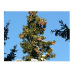 Spruce Tree Top With Cones Post Cards