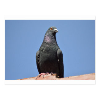 Spud the pigeon postcard