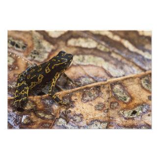 Spumarius de Atelopus del sapo de Pebas Stubfoot) Impresiones Fotograficas