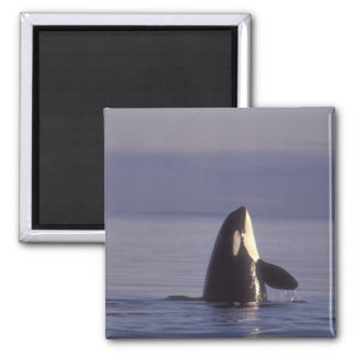 Spyhopping Orca Killer Whale (Orca orcinus) near 2 Inch Square Magnet