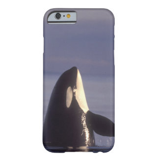 Spyhopping Orca Killer Whale (Orca orcinus) near Barely There iPhone 6 Case
