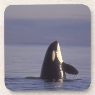 Spyhopping Orca Killer Whale (Orca orcinus) near Beverage Coaster