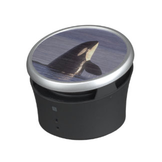 Spyhopping Orca Killer Whale (Orca orcinus) near Bluetooth Speaker