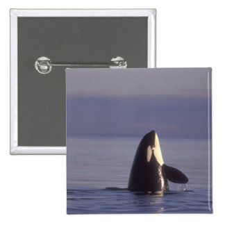 Spyhopping Orca Killer Whale (Orca orcinus) near Button