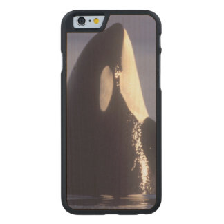 Spyhopping Orca Killer Whale (Orca orcinus) near Carved Maple iPhone 6 Slim Case