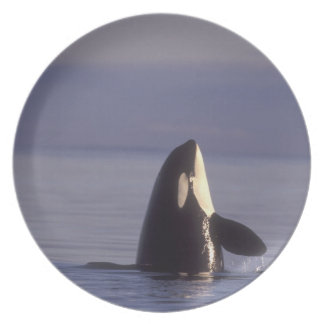 Spyhopping Orca Killer Whale (Orca orcinus) near Dinner Plate