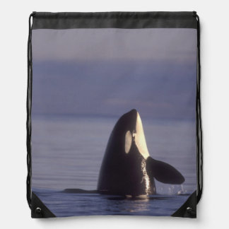 Spyhopping Orca Killer Whale (Orca orcinus) near Drawstring Backpack