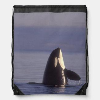 Spyhopping Orca Killer Whale (Orca orcinus) near Drawstring Bag