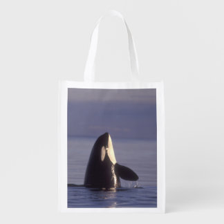 Spyhopping Orca Killer Whale (Orca orcinus) near Grocery Bags