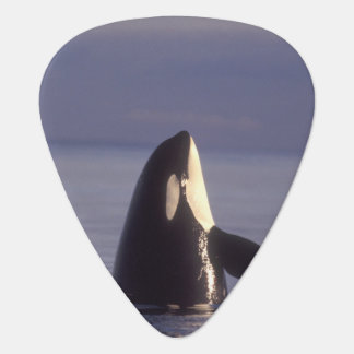 Spyhopping Orca Killer Whale (Orca orcinus) near Guitar Pick