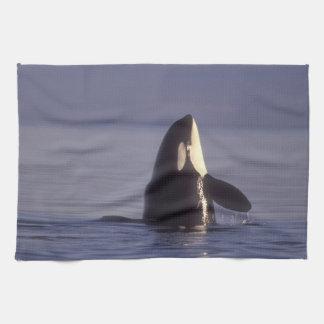 Spyhopping Orca Killer Whale (Orca orcinus) near Hand Towel