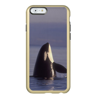 Spyhopping Orca Killer Whale (Orca orcinus) near Incipio Feather Shine iPhone 6 Case
