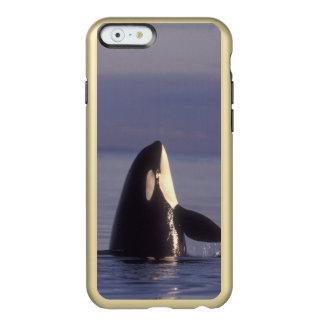 Spyhopping Orca Killer Whale (Orca orcinus) near Incipio Feather® Shine iPhone 6 Case