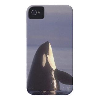Spyhopping Orca Killer Whale (Orca orcinus) near iPhone 4 Case