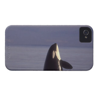 Spyhopping Orca Killer Whale (Orca orcinus) near iPhone 4 Cases
