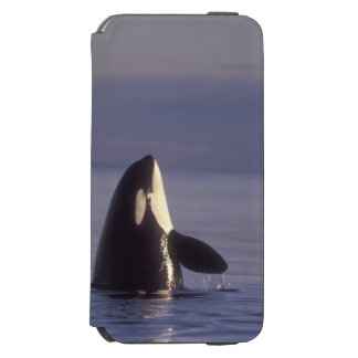 Spyhopping Orca Killer Whale (Orca orcinus) near iPhone 6/6s Wallet Case