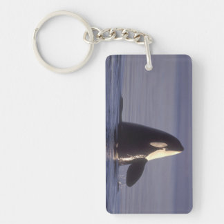 Spyhopping Orca Killer Whale (Orca orcinus) near Keychain
