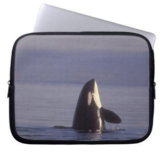 Spyhopping Orca Killer Whale (Orca orcinus) near Laptop Sleeve