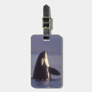 Spyhopping Orca Killer Whale (Orca orcinus) near Luggage Tag