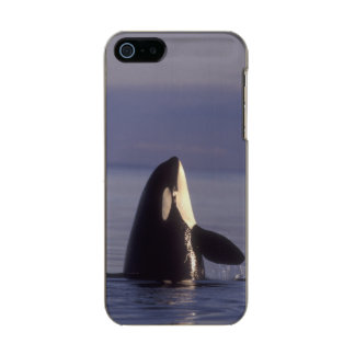 Spyhopping Orca Killer Whale (Orca orcinus) near Metallic Phone Case For iPhone SE/5/5s