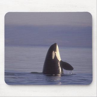 Spyhopping Orca Killer Whale (Orca orcinus) near Mouse Pad