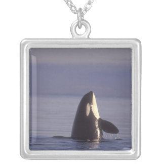Spyhopping Orca Killer Whale (Orca orcinus) near Pendant