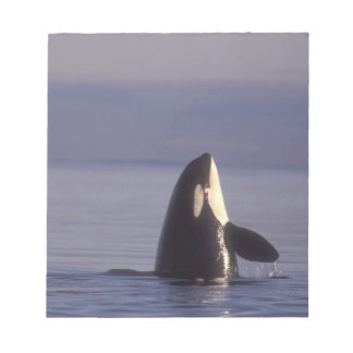 Spyhopping Orca Killer Whale (Orca orcinus) near Memo Notepads