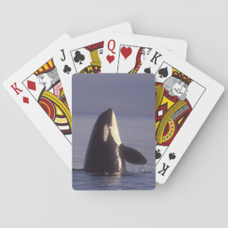 Spyhopping Orca Killer Whale (Orca orcinus) near Playing Cards