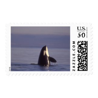 Spyhopping Orca Killer Whale (Orca orcinus) near Postage