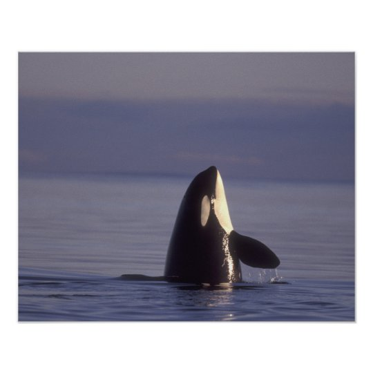 Spyhopping Orca Killer Whale (Orca orcinus) near Poster