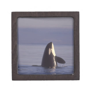 Spyhopping Orca Killer Whale (Orca orcinus) near Premium Trinket Boxes