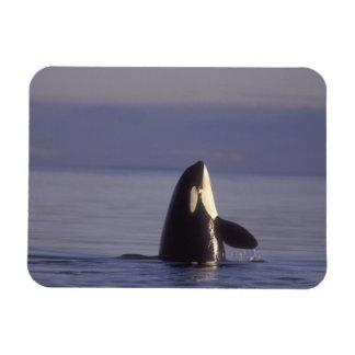 Spyhopping Orca Killer Whale (Orca orcinus) near Rectangular Photo Magnet