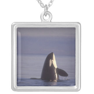 Spyhopping Orca Killer Whale (Orca orcinus) near Silver Plated Necklace