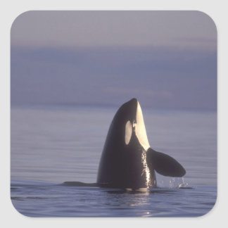 Spyhopping Orca Killer Whale (Orca orcinus) near Square Sticker