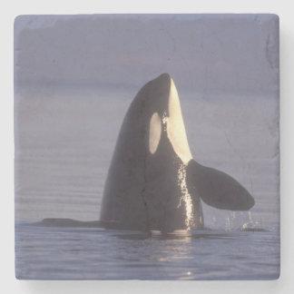 Spyhopping Orca Killer Whale (Orca orcinus) near Stone Coaster