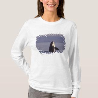 Spyhopping Orca Killer Whale (Orca orcinus) near T-Shirt