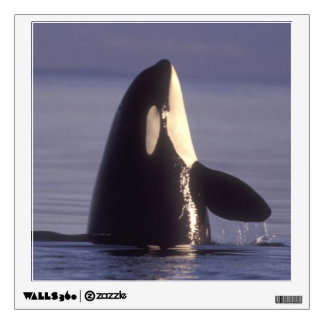 Spyhopping Orca Killer Whale (Orca orcinus) near Wall Graphic