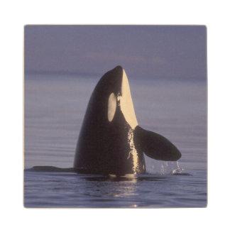 Spyhopping Orca Killer Whale (Orca orcinus) near Wood Coaster